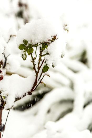 Erster Schnee First Snowfall Nature Pflanzen Plants Schnee Snow Winter Wintereinbruch