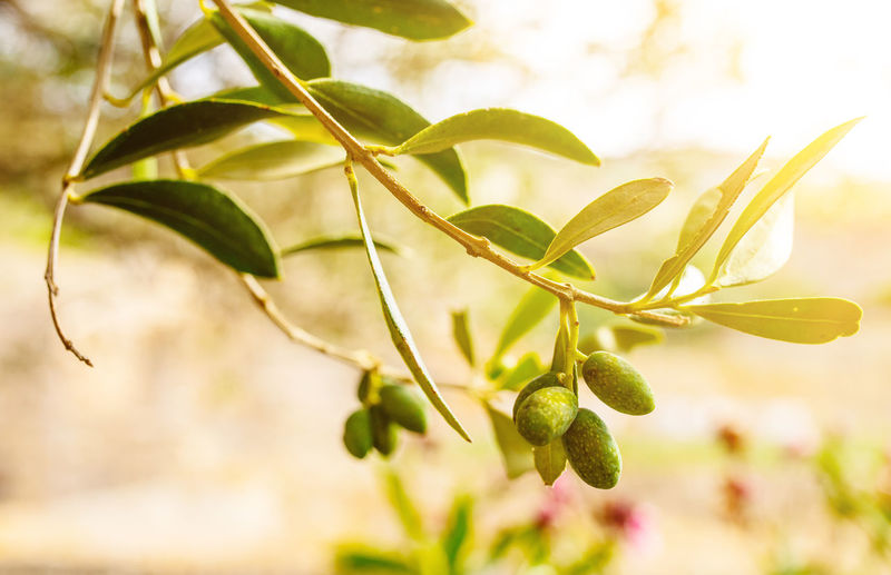 Olive Olive Tree Beauty In Nature Close-up Day Focus On Foreground Food Food And Drink Freshness Fruit Green Color Growth Leaf Nature No People Olive Tree Outdoors Plant Plant Part Plant Stem Selective Focus Twig