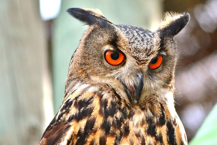 An owl with the orange eyes