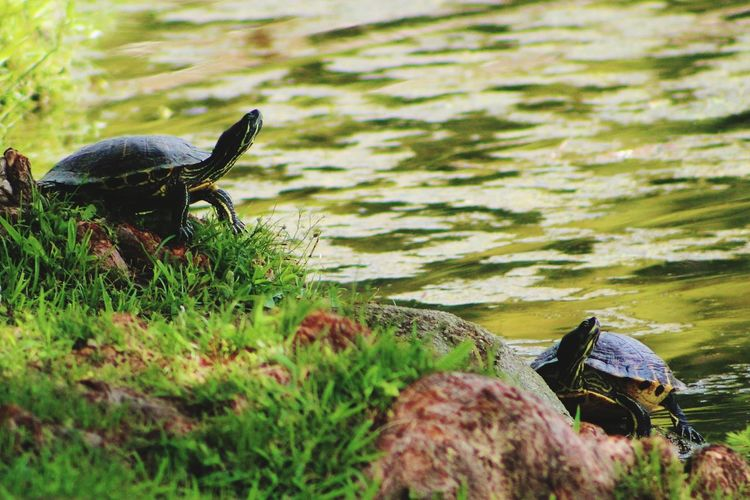 Grass Nature No People Day Water Outdoors One Animal Animal Themes Lake Mammal Pets Tortoise turrle