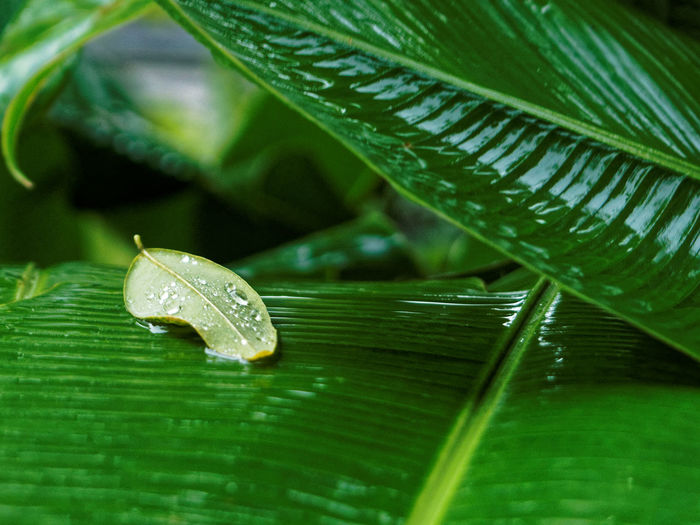 Banana Leaf Beauty In Nature Claudetheen Close-up Green Green Color Jungle Leaf Leaves Plant Rain Rainy Days Thailand