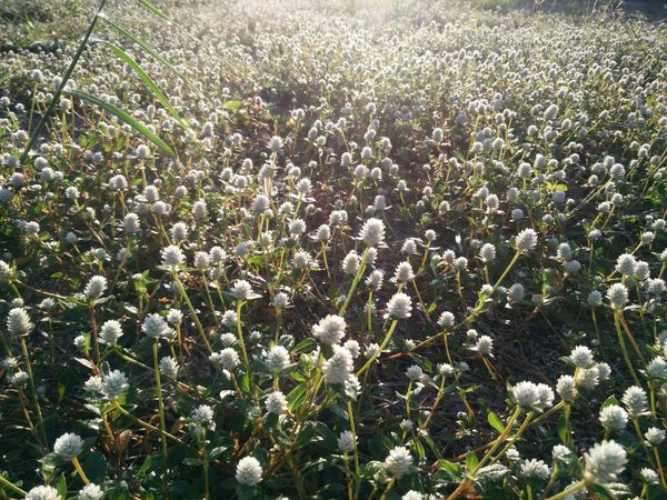Agriculture Beauty In Nature Day Field Flower Freshness Growth Nature No People Outdoors Plant