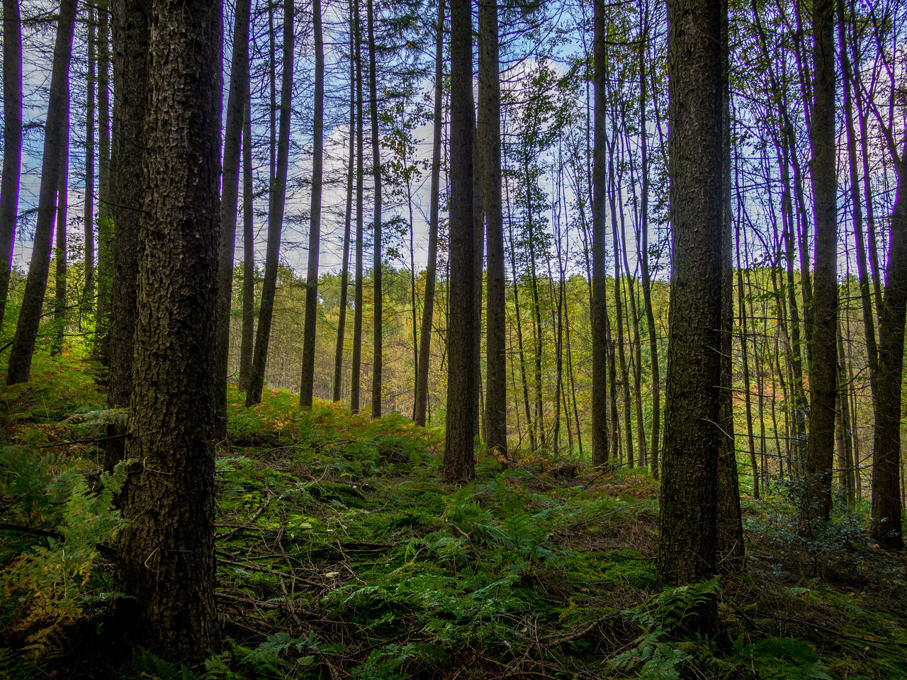 forest, tree, land, tree trunk, plant, trunk, woodland, tranquil scene, growth, tranquility, scenics - nature, nature, non-urban scene, beauty in nature, no people, landscape, pine tree, pine woodland, environment, day, coniferous tree, outdoors, evergreen tree