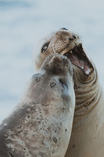 Southern Elephant Seal, Punta Ninfas, Patagonia. Argentina. Animal Themes Animal Animal Wildlife Animals In The Wild Mammal Day Nature No People Wildlife Marine Elephant Seal Southern California Patagonia Argentina Blue Ocean Sea Cold Temperature Interacion Behavior First Eyeem Photo