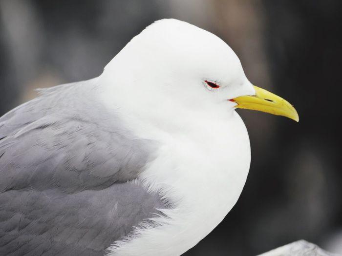 Dozing seagull