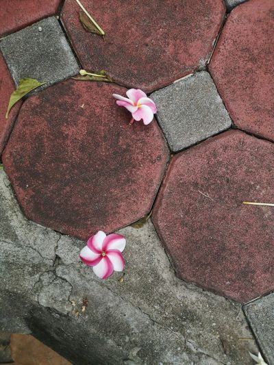 High angle view of pink rose on footpath