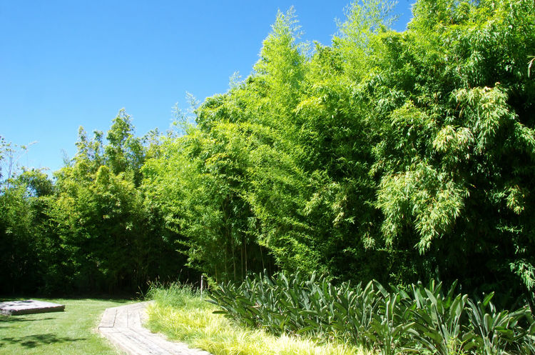 Bambu green in a garden Garden Bambu Plant Beauty In Nature Clear Sky Forest Grass Green Color Growth Lush Foliage Nature Plant Sky Tranquil Scene Tranquility Tree
