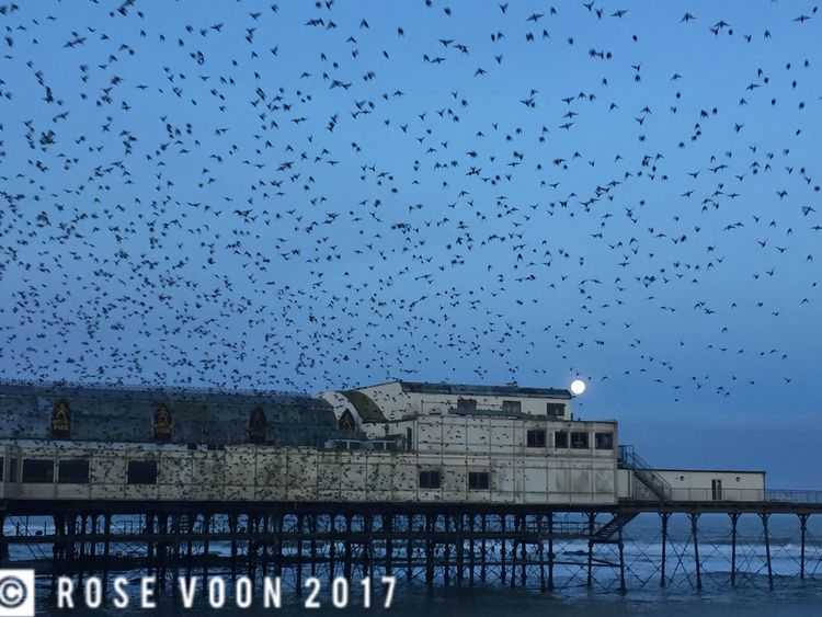 Starlings and the moon at bluehour Aberystwyth Ceredigion Bluehour Murmuration Starlings Wales Flock Of Birds Dramatic Sky