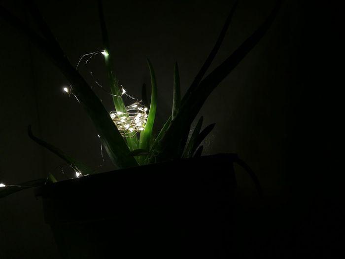 Aloe Aloe Vera