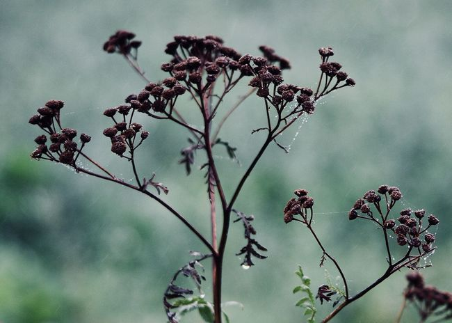 dried tansy wildflower with spiderweb Autumn Dew Field Wildflower Backgrounds Blue Branch Brown Change Close-up Cobweb Dried Plant Fall Flower Flower Head Growth Landscape Nature Outdoors Plant Season  Spiderweb Tansy Tree Wilderness