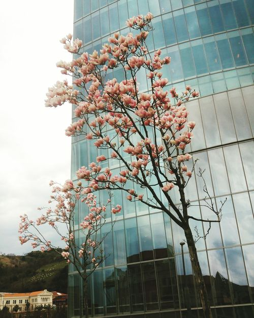 Tree Growth Built Structure Branch Pink Flower 🌸 Blossoms  Façade City Fragility Blossom Tree Blossom Flowers Blossoming  Springtime Glass - Material Reflection Pink Color Flowers Architecture Nature Trees Glass Beauty In Nature Bilbao Millennial Pink Spring The Architect - 2017 EyeEm Awards BYOPaper!
