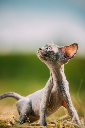 Funny young gray devon rex kitten in grass. short-haired cat of english breed.