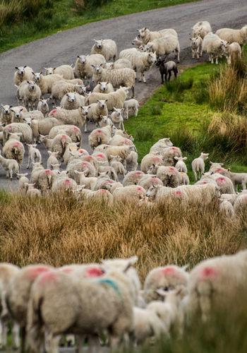 Typische schottische Tiere. Cattle Cow Day Domestic Animals Herde Landwirtschaft Nature Nature Outdoors Rinderzucht Schafzucht Schottland Scotland Scottish Scottish Highlands Sheep Tierhaltung Zucht