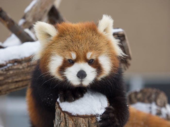 Close-Up Portrait Of Red Panda On Snow