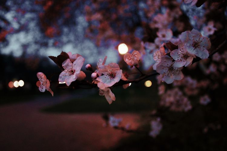 Close-Up Of Cherry Blossoms Blooming Outdoors At Night