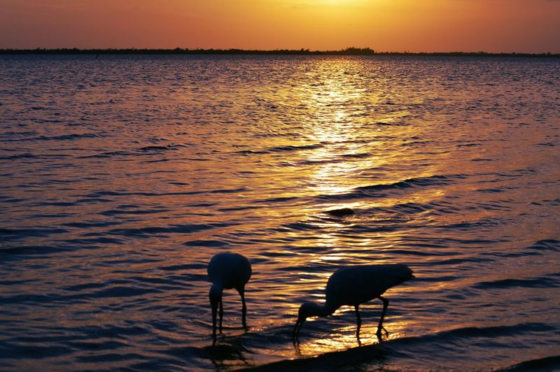 High angle view of ibis wading at sea shore during sunset