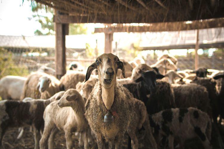 Close-up of sheep at farm