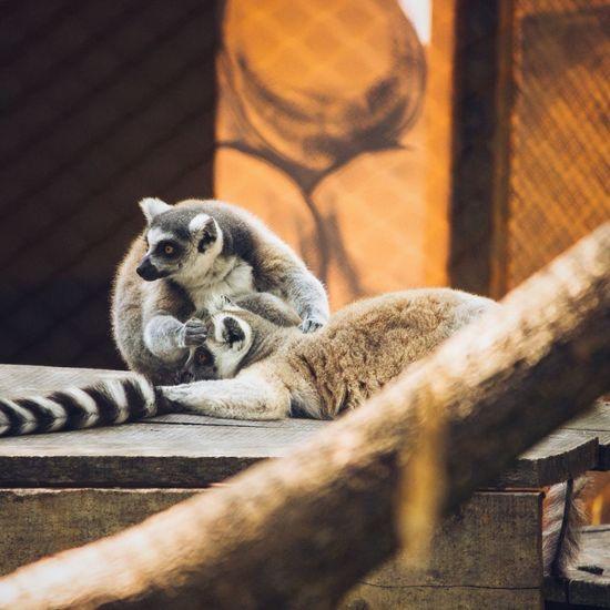Portrait of lemurs