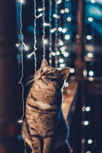 Close-up of cat sitting by illuminated string lights