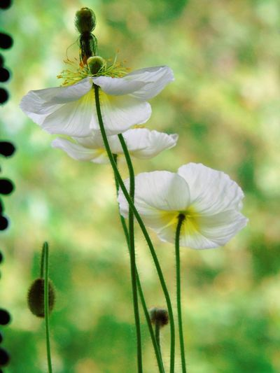 Beauty In Nature Best Shot Today Flower Focus On Foreground Fragility I Like Very Much Pollen Poppy Flowers Selective Focus White