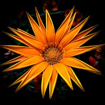 Flowering Plant Flower Vulnerability  Fragility Inflorescence Freshness Flower Head Beauty In Nature Petal Plant Growth Close-up Pollen Yellow Nature Gazania No People Day Orange Color Black Background