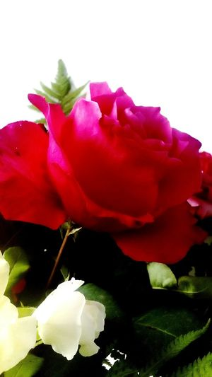 Red Rose White Flower White Background