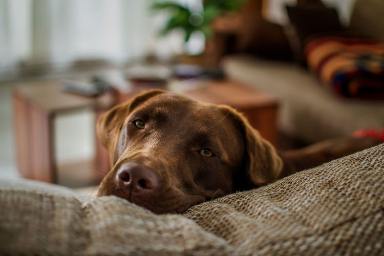Close-Up Of Dog Relaxing On Sofa