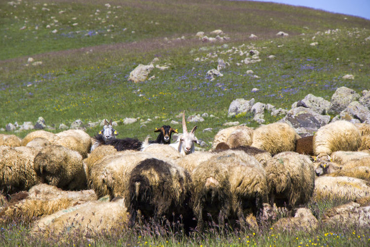 Sheep and goats in the valley. domestic animal life. farm in mountains. large group of sheep.