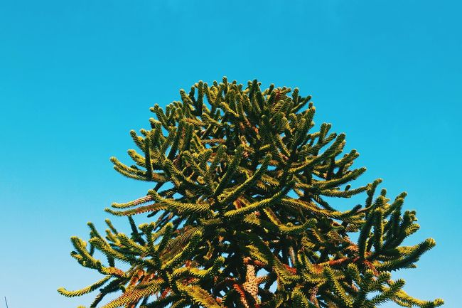 Pastel coloured sky and monkey puzzle tree Monkey Puzzle Tree Monkey Puzzle Pastel Pastel Power Pastel Sky Tree Tree And Sky Shapes And Patterns  Patterns In Nature Geometry Pattern Pieces Pattern, Texture, Shape And Form Showcase March The Week On Eyem