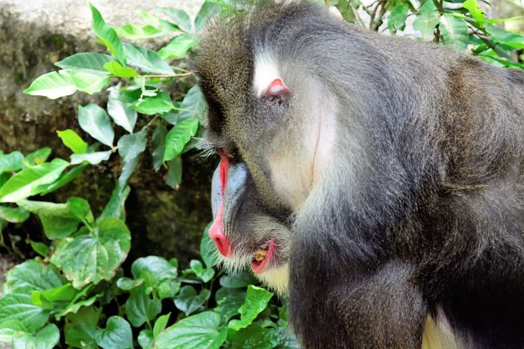 Wildlife and forestry EyeEm Best Shots Animal Animal Hair Animal Head  Animal Themes Animal Wildlife Animals In The Wild Close-up Day Focus On Foreground Green Color Leaf Mammal Monkey Mouth Open Nature No People One Animal Outdoors Plant Plant Part Primate Vertebrate