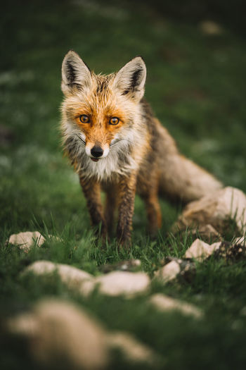 Green Color Nature Wildlife & Nature Animal Themes Animal Wildlife Animals In The Wild Beauty In Nature Eyes Field Fox Grass Looking At Camera Mammal Mountain Nature Nature_collection No People One Animal Plant Portrait Red Fox Selective Focus Standing Vertebrate Wildlife The Great Outdoors - 2018 EyeEm Awards