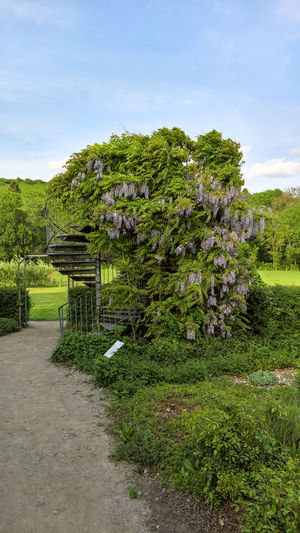 Beauty In Nature Blauregen Blossom Day Flower Foodpath Glyzinie Green Green Color Growing Idyllic In Bloom Nature No People Outdoors Pflanzen Plant Ranken Stairs Tree Treppe