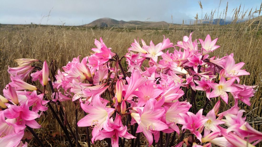 Glorious in PINK! Wildflower profusion Dark Pink Fog Golden Grasses Countryside Wild Dramatic Foreground Mists Atmospheric Zen Romantic Rural Headlands Flower Head Flower Pink Color Purple Sky Close-up Plant Landscape In Bloom Plant Life Wildflower Pistil Day Lily Uncultivated Petal Lily Focus