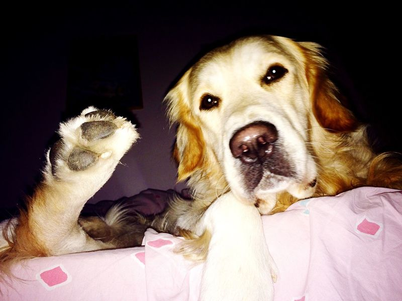 Dog Ilovemydog Goldenretriever Hello World Animals Relaxing Taking Photos