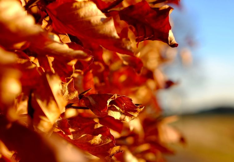 Close-up Hecke Heckel Hedge Laub Leaves Light And Shadow Red Sunlight ☀
