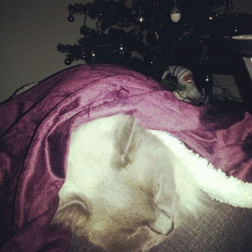 Pishi Sova Cat Love Kärlek Min Poje