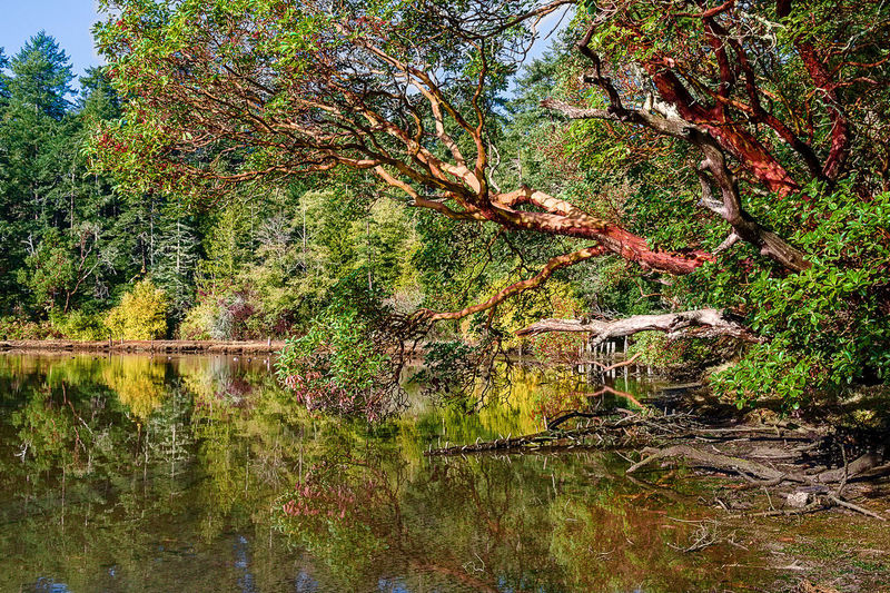 Arbutus Tree Madrona Tree Beauty In Nature Change Day Forest Green Color Growth Lake Land Nature No People Non-urban Scene Outdoors Plant Reflection Scenics - Nature Tranquil Scene Tranquility Tree Water Waterfront