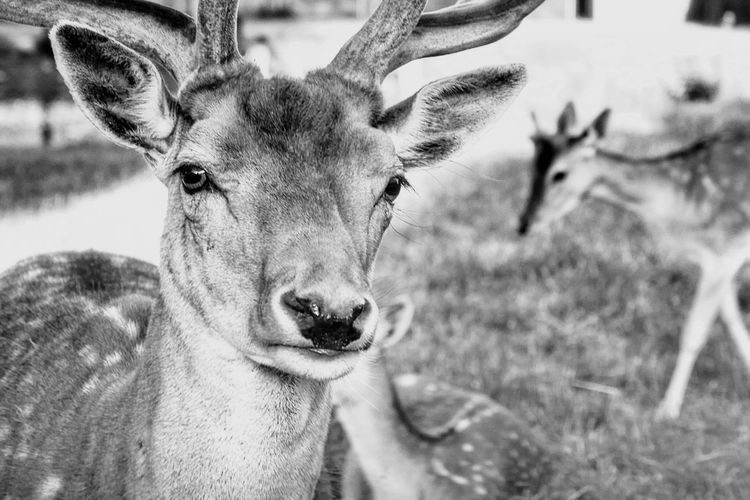 This Is Masculinity Look Into My Eyes... Looking At Camera Face Faces Of EyeEm Animal Animals Animal Themes Harem Alertness Blackandwhite Black And White Black & White Intense Portrait Portrait Photography Portraits Game Animals Whats Up Food Eyes Communication Showcase July Hidden Gems  Home Is Where The Art Is Monochrome Photography