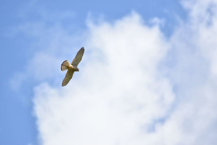 Animals In The Wild Low Angle View Nature Bird Bird Of Prey Cloud - Sky Flying Hunting Inflight Kestrel Mid-air No People One Animal Sky Soaring