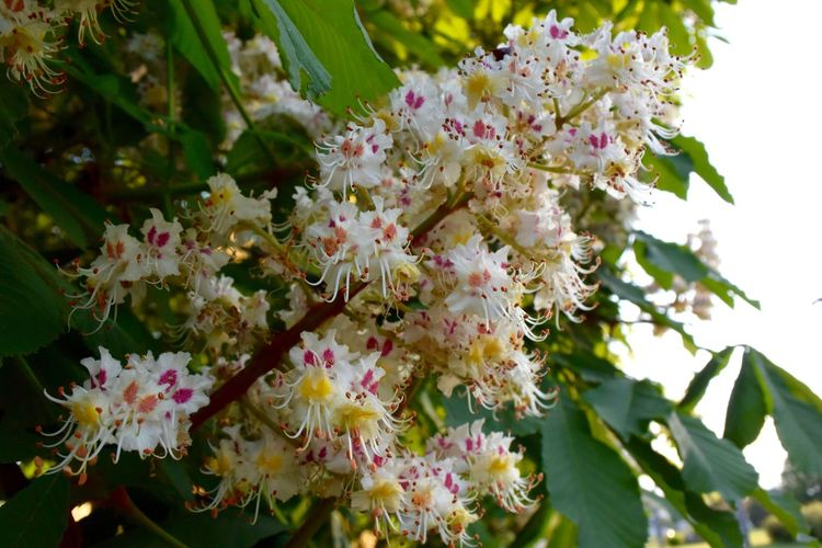 Blossoming Tree Beauty In Nature Blossom Blossom Tree Bunch Of Flowers Chestnut Blossoms Chestnut Flowers Chestnut Tree Close-up Flower Flowering Plant Freshness Inflorescence Nature No People Outdoors Spring Spring Flowers Springtime