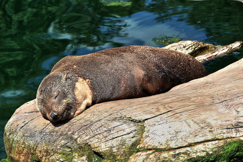 Eyes Closed  In The Sun Rock Animal Wildlife Animals In The Wild Aquatic Mammal Close-up In The Sunlight In The Sunshine Nature No People One Animal Outdoors Sea Lion Seal Sleeping Water