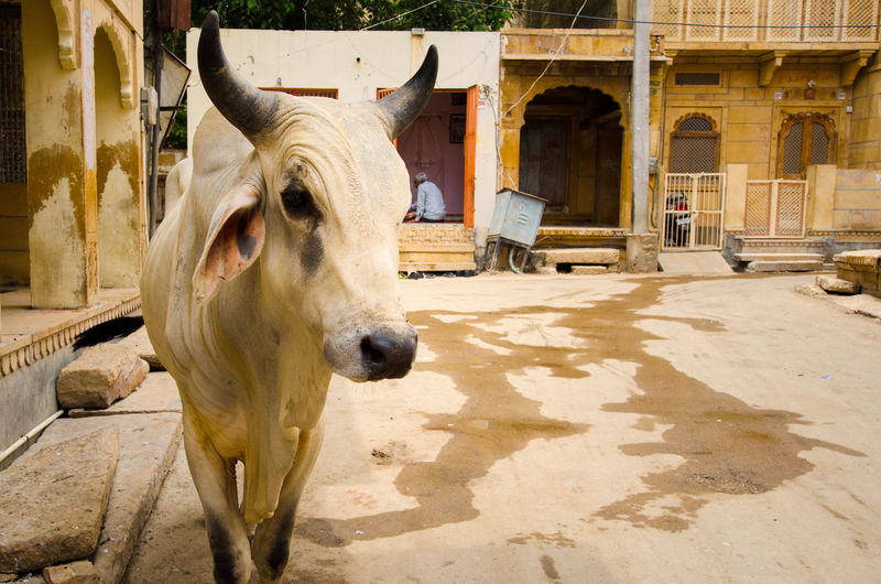 Cow Herbivorous India Indian Cow Jaisalmer Mammal Rajasthan Street Streetphotography