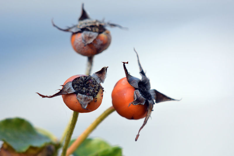 Berry Fruit Close-up Day Focus On Foreground Food Food And Drink Freshness Fruit Growth Hanging Healthy Eating Nature No People Orange Color Outdoors Persimmon Plant Plant Stem Ripe Wellbeing