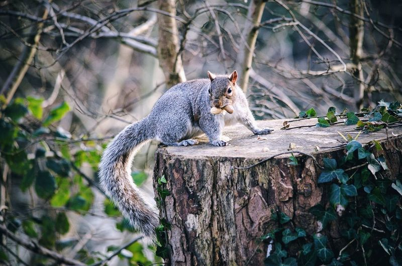 Close-Up Of Squirrel Eating On Tree Stump