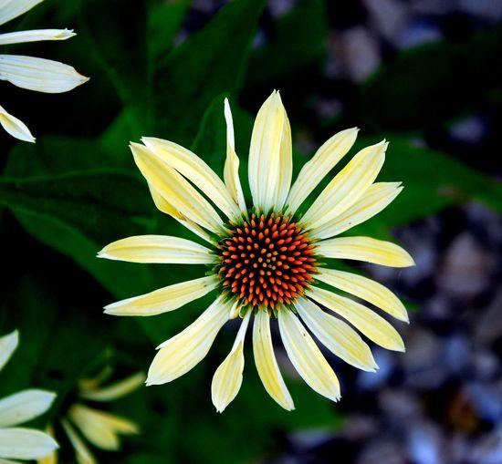 Macro shot of white daisy flowers