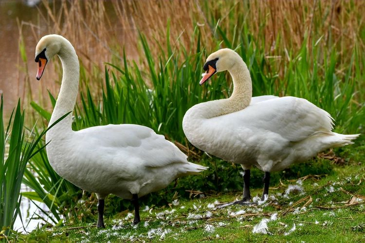 mute swans Bird Animal Swan Animals In The Wild Cute Water Lake Young Animal Togetherness Nature No People Animal Wildlife Care Beak Swimming Outdoors Grass Animal Themes Close-up Day Sigma150-600c NikonD5500 Nikon_photography Sigma Lens Springtime