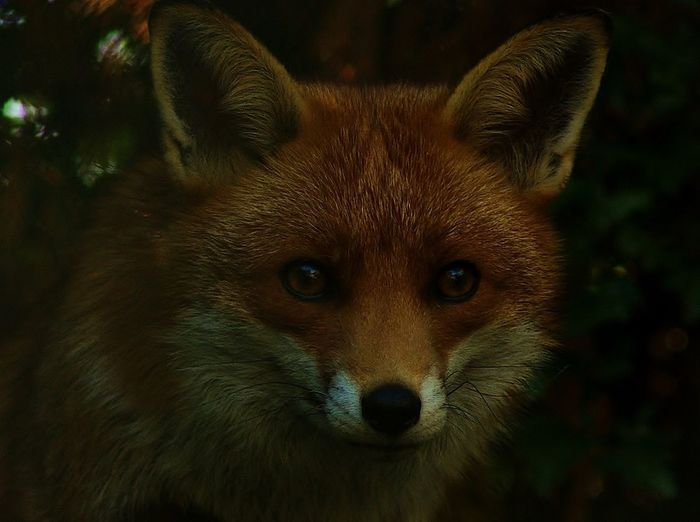 Close-up portrait of fox at night