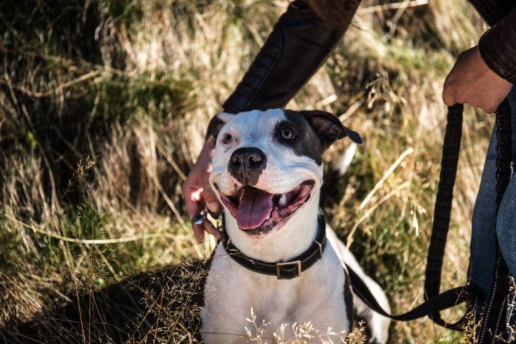Staffordshire Bull Terrier Pitbull Staffordshire Pit Bull Terrier