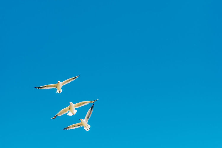 Flying Animal Wildlife Animals In The Wild Blue Animal Themes Animal Vertebrate Clear Sky Sky Bird Copy Space Spread Wings Mid-air Low Angle View Nature Group Of Animals No People Seagull Day Beauty In Nature Outdoor