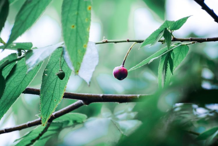 Wallpapers Hot Day Photography Summer ☀ EyeEmBestPics EyeEm Gallery EyeEm Team EyeEm Best Edits EyeEm EyeEm Selects EyeEm Team EyeEmBestPics Plant Fruit Healthy Eating Growth Food And Drink Food Close-up Tree Leaf Focus On Foreground Berry Fruit Branch Green Color Freshness